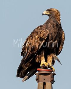 Golden Eagle-189