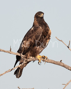 Golden Eagle-163