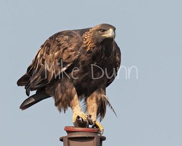 Golden Eagle-190