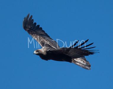 Golden Eagle-177