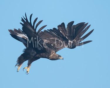 Golden Eagle-168