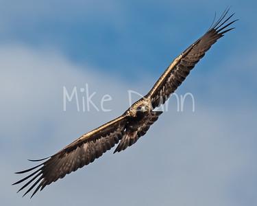 Golden Eagle-143