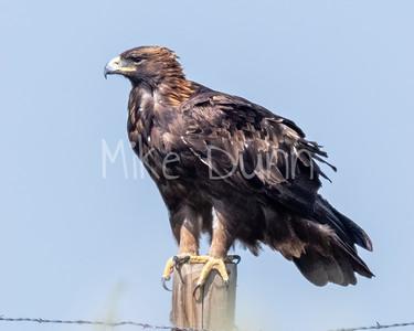 Golden Eagle-186