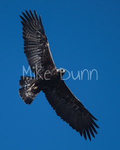 Golden Eagle-176