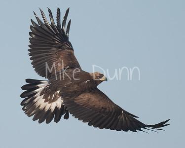Golden Eagle-146