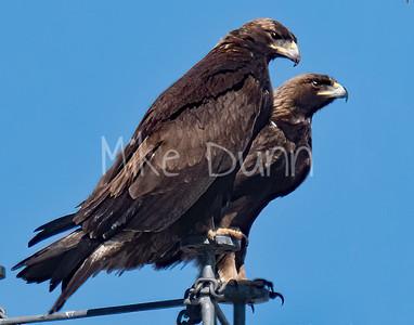 Golden Eagle-175