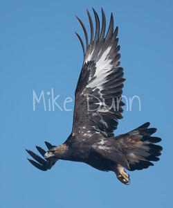 Golden Eagle-118
