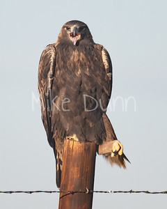 Golden Eagle-129
