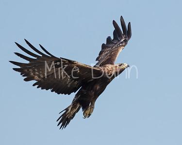 Golden Eagle-180