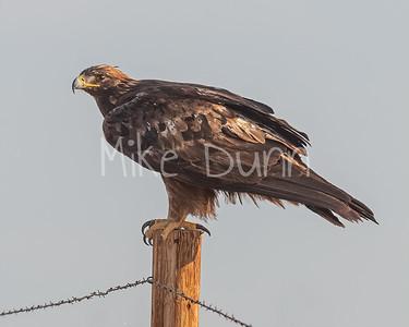 Golden Eagle-185