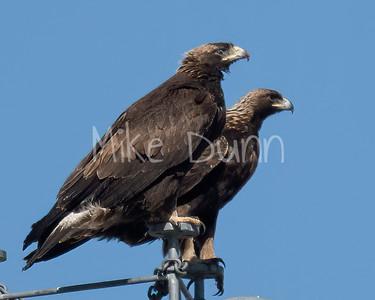 Golden Eagle-174