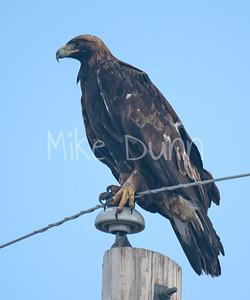 Golden Eagle-112