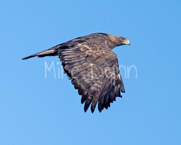 Golden Eagle-161