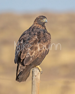 Golden Eagle-157