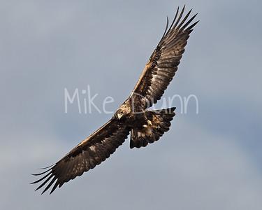 Golden Eagle-134