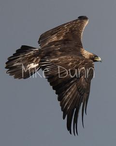 Golden Eagle-132