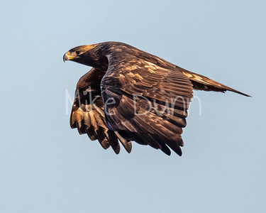Golden Eagle-165