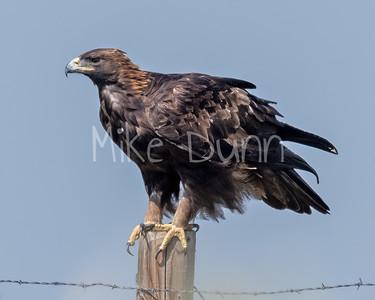 Golden Eagle-187