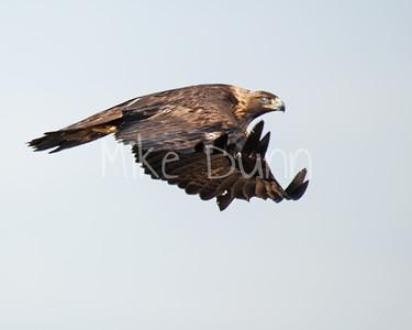 Golden Eagle-131