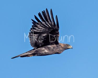 Golden Eagle-160