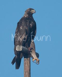 Golden Eagle-159