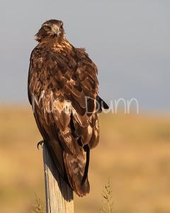 Golden Eagle-192