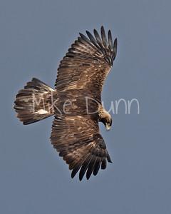 Golden Eagle-135