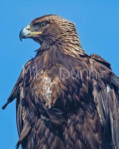 Golden Eagle-149