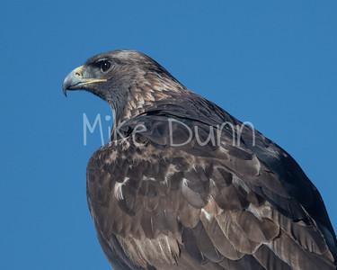 Golden Eagle-167