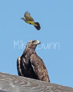 Golden Eagle-179