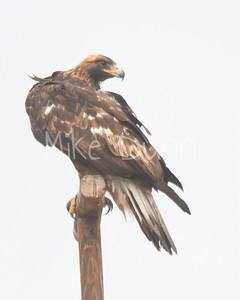 Golden Eagle-111