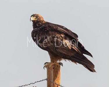 Golden Eagle-184