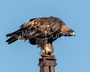 Golden Eagle-188