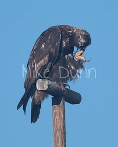 Golden Eagle-158