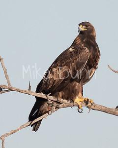 Golden Eagle-162