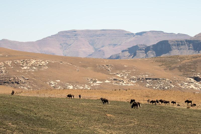 Black Wildebeest (Gnu)