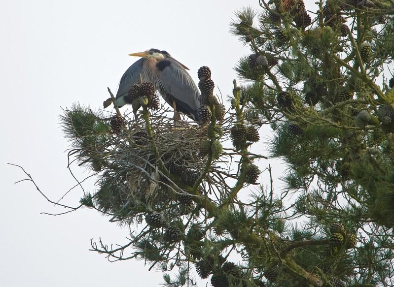 Great blue heron nest at Golden Gate Park