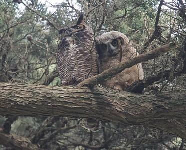 Golden Gate great horned owls