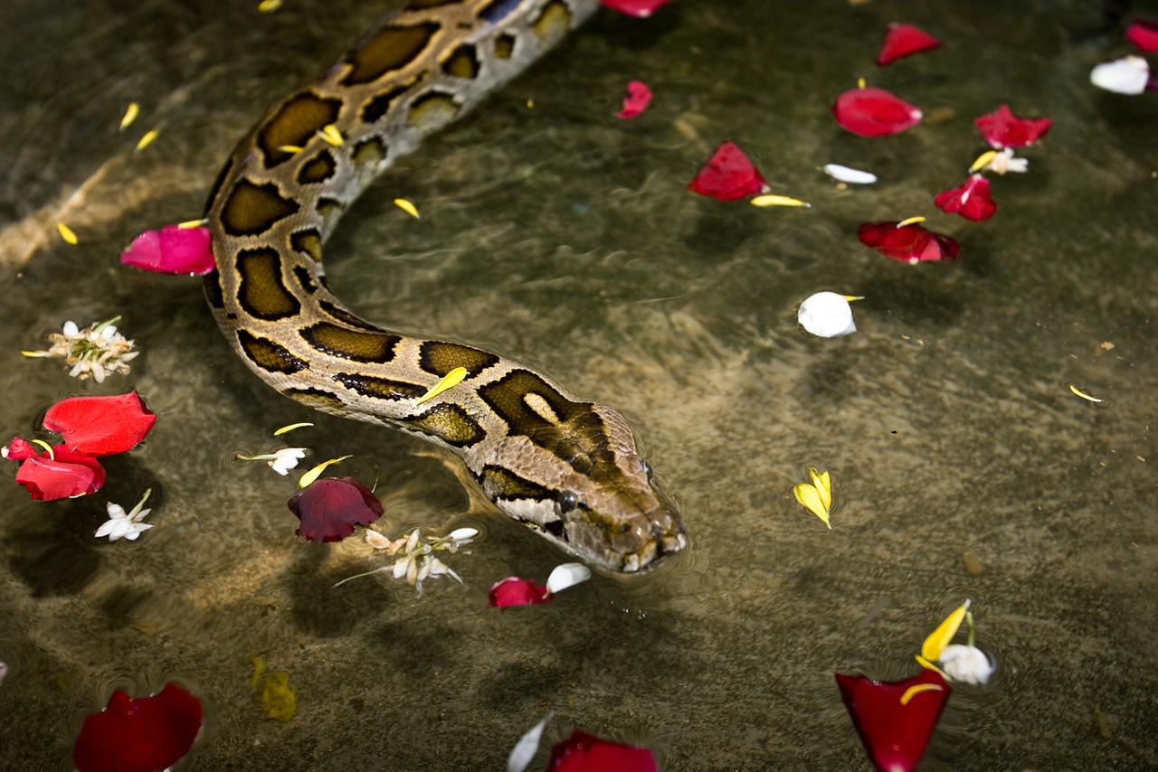 Sacred python. Outside Mandalay.