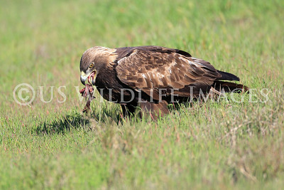 Golden Eagle Eating It's Prey