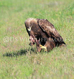 Female Golden Eagle Using Her Talons to Eat Her Prey