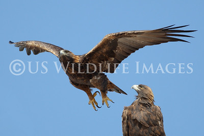 Male Golden Eagle Takes Off After Prey as Females Looks On
