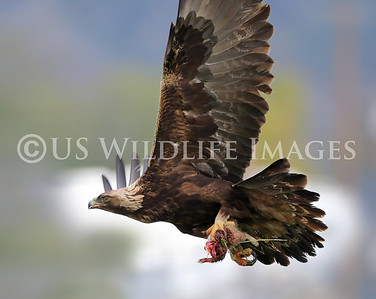 Male Golden Eagle Heading for Nest with Leftovers