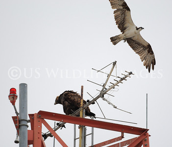 Osprey Attempts Attack of Golden Eagle