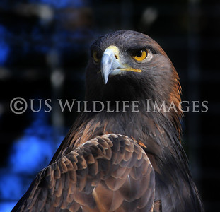 Golden Eagle Up Close at Irvine Regional Park Zoo