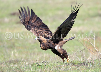 With a Full Crop, the Golden Eagle Launches to Fly Home