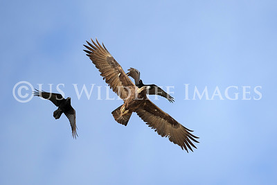 "Ravens Attacking Golden Eagle............ As their populations continue to increase the ""Gangs,"" continue to attack Raptors and Cause Them Harm."