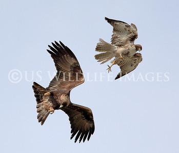 Red-Tailed Hawk - Golden Eagle Aerial Combat
