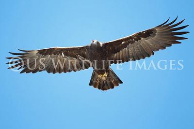 Female Golden Eagle in Flight