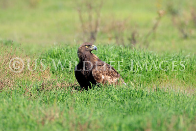 Female Golden Eagles Are About One Third Larger Than the Males.